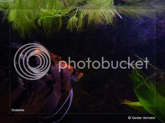 aquarium d'eXecoV Scalaires