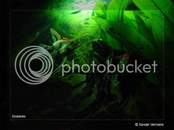 aquarium d'eXecoV - Page 2 Scalaires5