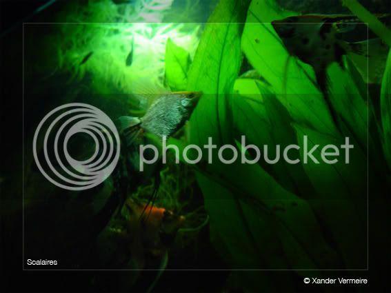aquarium d'eXecoV - Page 2 Scalaires6