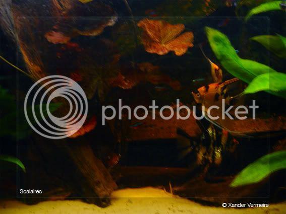 aquarium d'eXecoV - Page 4 Scalaires8