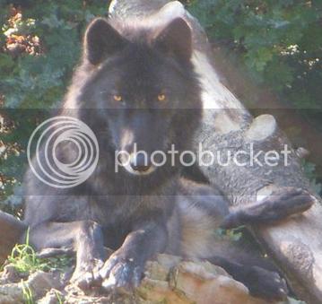 Vidar [M]    Vidarwolf