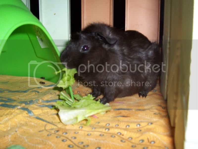 Muh Guinea Pig Babies Batch. 100_3013