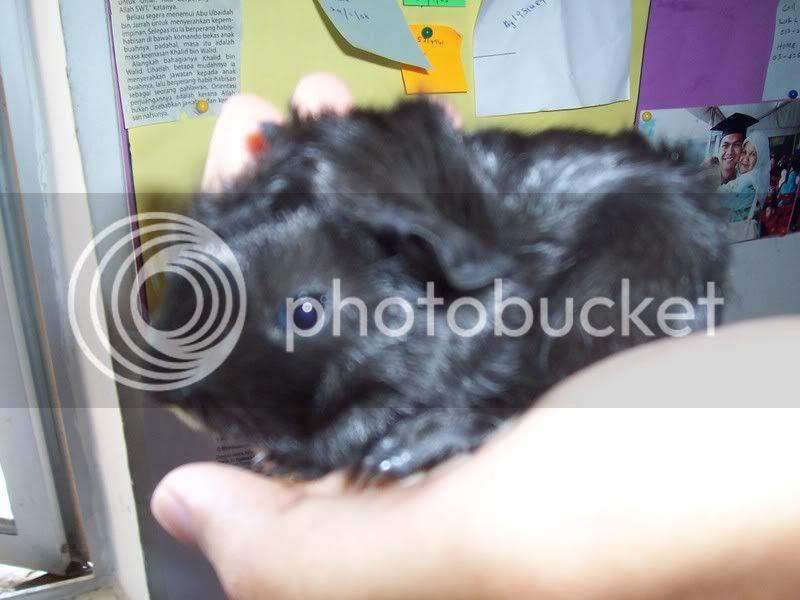 Muh Guinea Pig Babies Batch. 100_3223