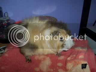 Muh Guinea Pig Babies Batch. 100_4254