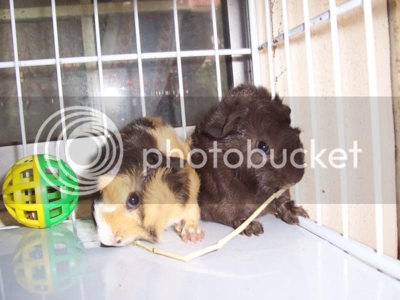 Muh Guinea Pig Babies Batch. 100_4419