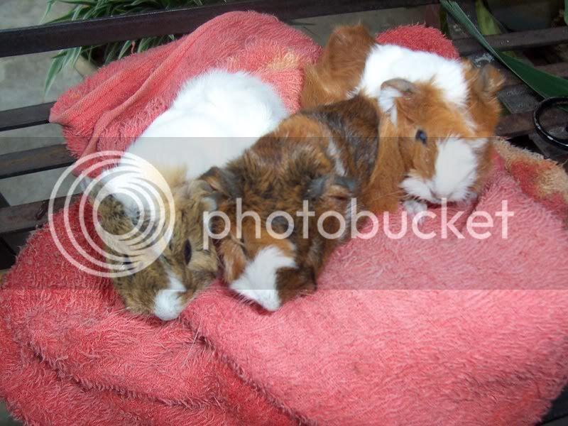 Muh Guinea Pig Babies Batch. 100_4493