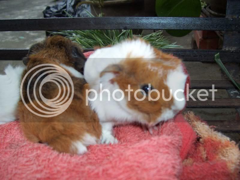 Abbysinian (Mix)  Guinea Pig For sale 100_4497-1