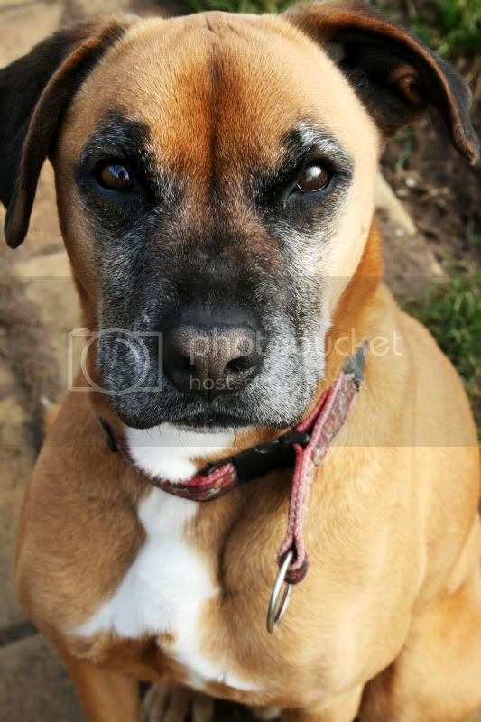 Bouncy Boxer-X In desperate need of incredibly special person looking for a challenge (lincolnshire) Boyd2