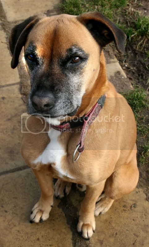 Bouncy Boxer-X In desperate need of incredibly special person looking for a challenge (lincolnshire) Boyd3