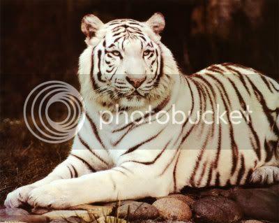 \~~~\White tiger/~~~/ White-Tiger-Sitting-Print-C10001346