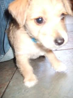 Tiny Alvin - 7 or 8 week old terrier pup fostered by Four Paws Animal Rescue (South Wales) DSCF4262