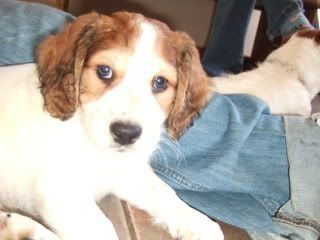 Rolly 6 week old Terrier X fostered by Four Paws Animal Rescue (South Wales) DSCF4291