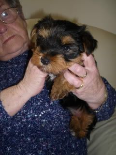 Fluke, 6 week old Yorkie fostered by Four Paws Animal Rescue South Wales  P10309821