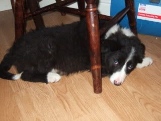 Kelsey a 10 week old Collie X fostered by Four Paws Animal Rescue (South Wales) Colliesandlurcher2002