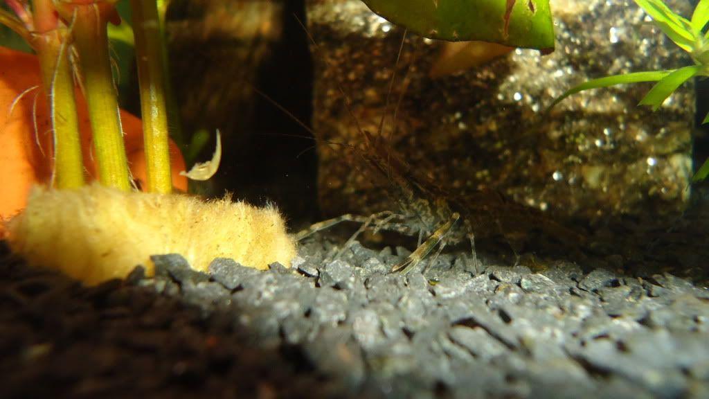Macrobrachium Assamensis Dsc00112
