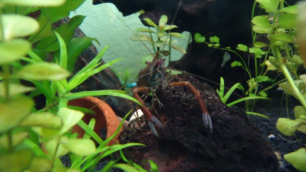 Macrobrachium Assamensis Dsc00115-1