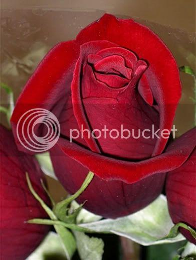 RED ROSE Red-rose