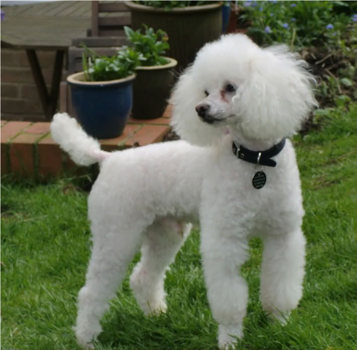 Tiny a Toy Poodle fostered by Four Paws Animal Rescue (South Wales)  CIMG0352