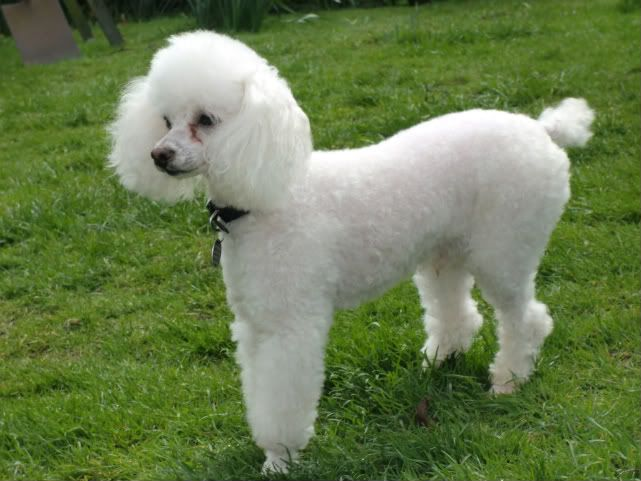Tiny a Toy Poodle fostered by Four Paws Animal Rescue (South Wales)  CIMG0354