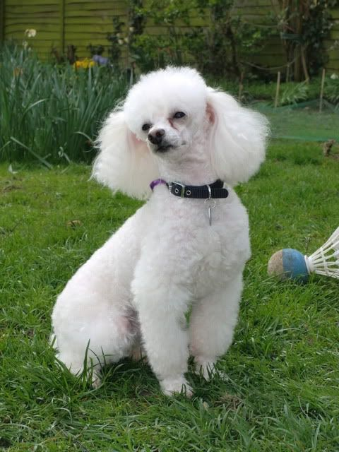 Tiny a Toy Poodle fostered by Four Paws Animal Rescue (South Wales)  CIMG0359