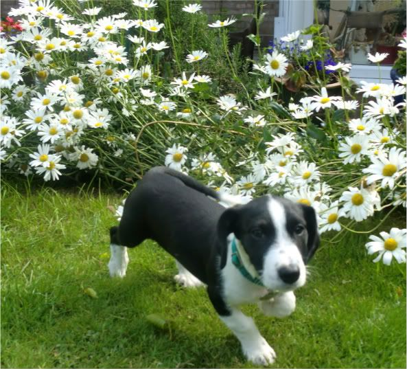 Glee Terrier X puppy fostered by Four Paws Animal Rescue (South Wales)  CIMG0653