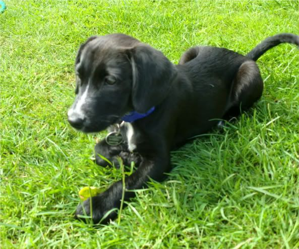 Jessica,  6 week old Terrier X girl fostered by Four Paws Animal Rescue (South Wales)  CIMG0655