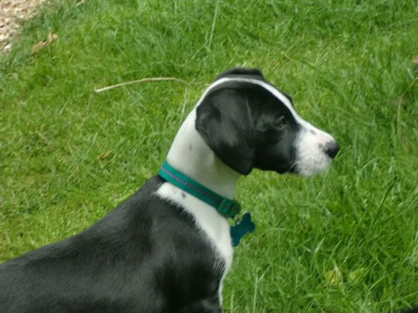 Glee Terrier X puppy fostered by Four Paws Animal Rescue (South Wales)  CIMG0734