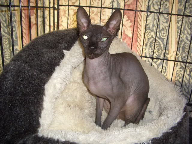 Neffi Black 3yr old Sphinx Girl looking for Special home CIMG0295