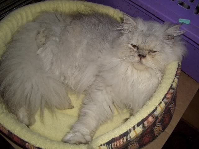 ESMAY TORTIE SHADED CAMIO PERSIAN 13 MONTHS OLD CIMG1729