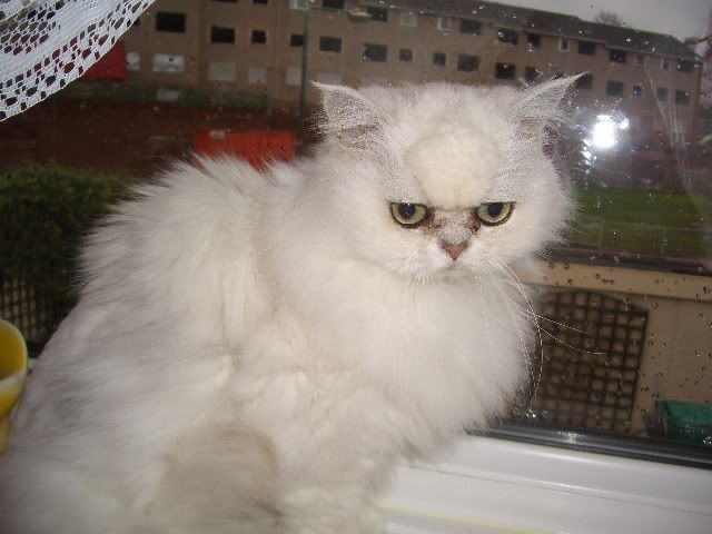 CAMMY SILVER CHINCHILLA PERSIAN 4 YRS  OLD CIMG1824