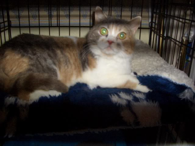 HAZEL A TORTIE BRITISH SHORT HAIR 3YS OLD GIRL CIMG9784