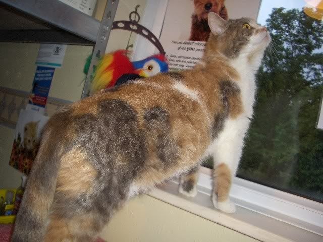 HAZEL A TORTIE BRITISH SHORT HAIR 3YS OLD GIRL CIMG9895