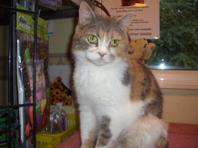 HAZEL A TORTIE BRITISH SHORT HAIR 3YS OLD GIRL CIMG9900