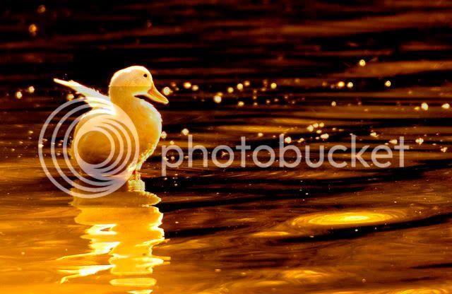 Volim zlatno 85160117_e4069c7bb1_b