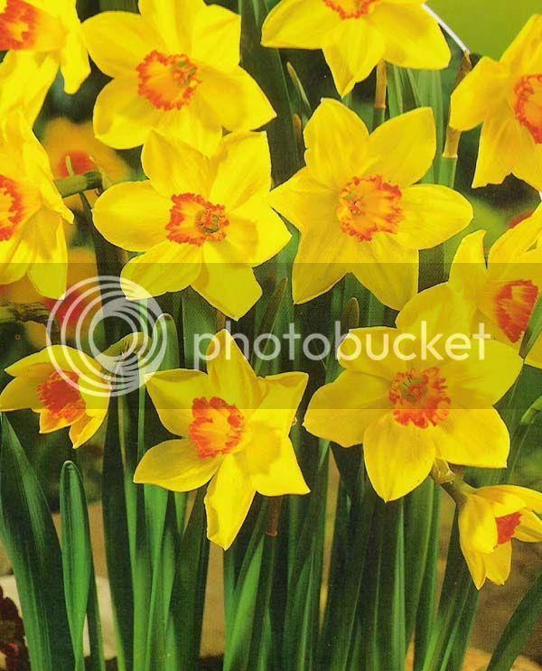 Candyescamente Mitzuky¡¡¡  ¿Y la flor de Terry?   =/ Narcisos