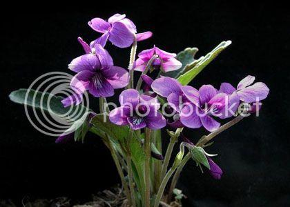 Candyescamente Mitzuky¡¡¡  ¿Y la flor de Terry?   =/ Ramo_flores_violetas