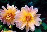 المنتدى العام Th_Flowers_0001