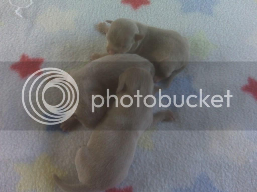 Chi Babies Untitledbluechipuppies2females1male