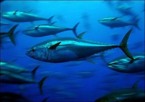 U Grade FAQ - Page 2 TunaFish-1