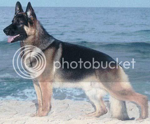 Η προσευχή ενός σκυλιού... GermanShepherd9