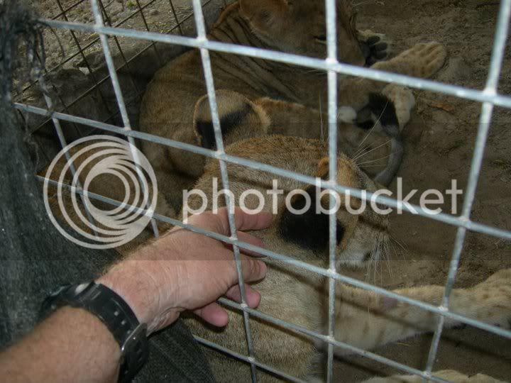 Le lion tacheté du Kenya ou Marozi - Page 2 Lions1