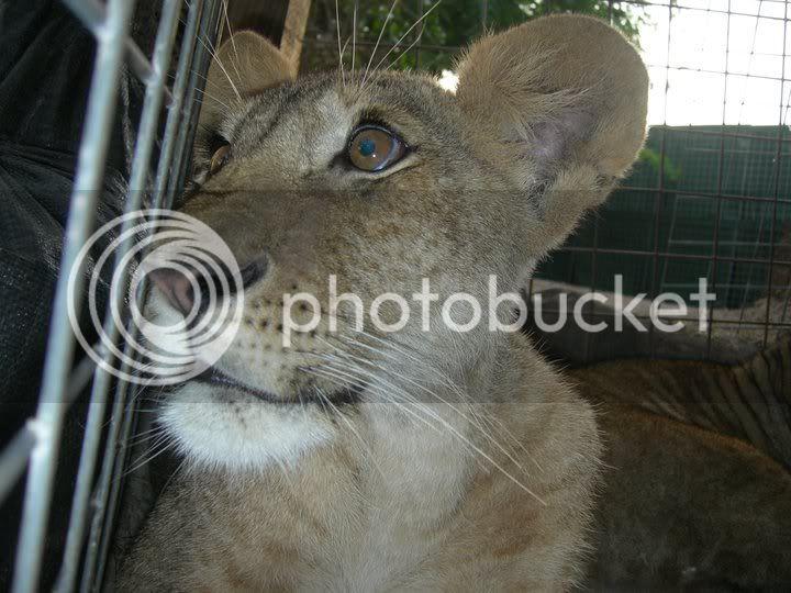 Le lion tacheté du Kenya ou Marozi - Page 2 Lions6