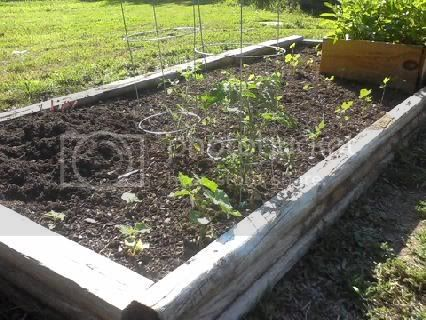pics of my raised beds Cucumber6-6-11