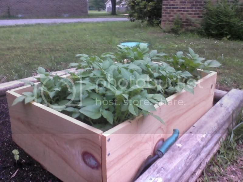 pics of my raised beds Potatoes5-17-11