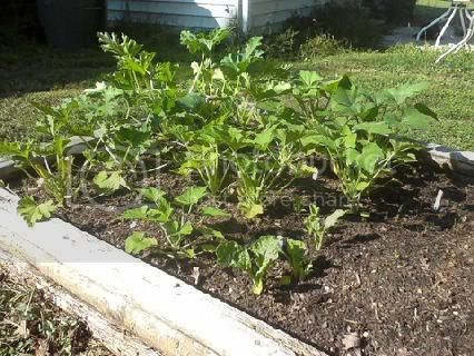 pics of my raised beds Squash20116-6
