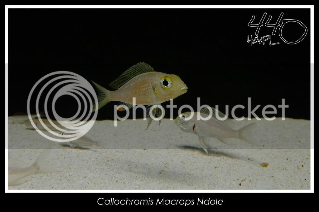 720l Eco Tanganika - Página 2 CallochromisMacropsNdole2copia