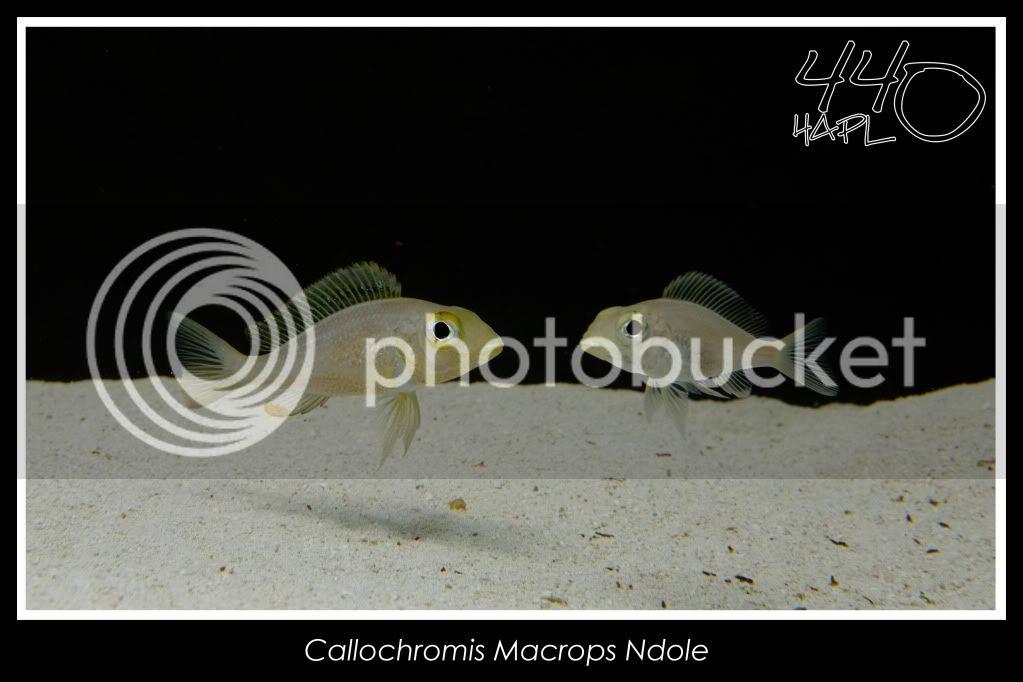 720l Eco Tanganika - Página 2 CallochromisMacropsNdole3