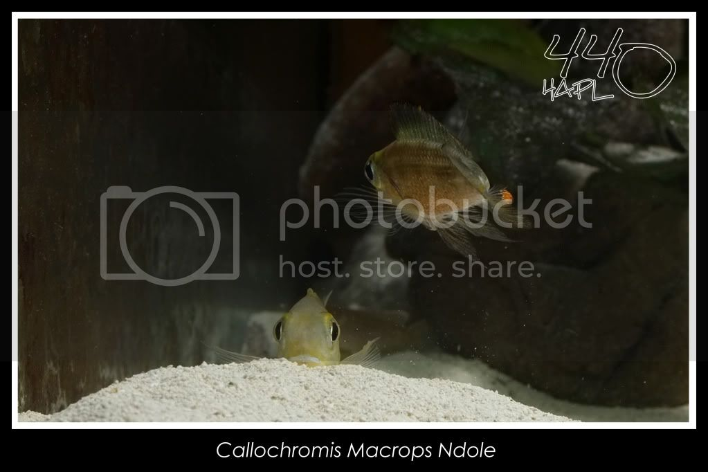 720l Eco Tanganika - Página 2 Callochromis10