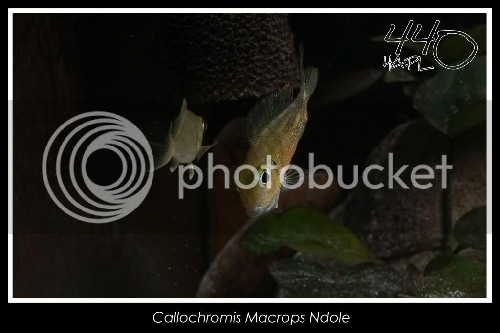 720l Eco Tanganika - Página 2 Callochromis11
