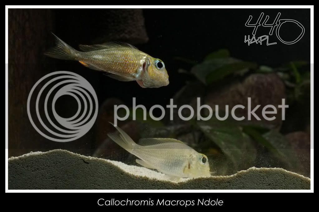 720l Eco Tanganika - Página 2 Callochromis13